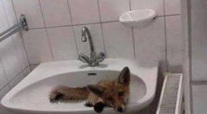 Party után másnap egy valaki mástól 1 másnapos róka a mosdóban a csapban buli után grr